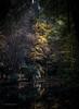 Autumn's Last Gasp (michaelgreenhill) Tags: yarraranges autumn victoria tree sherbrooke melbourne lake leaves orange red australia au