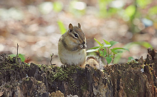 Chipmunk striking a pose