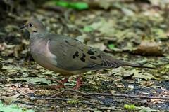 Mourning Dove (markgosling94) Tags: nikon wildlife nature bird dove mourning