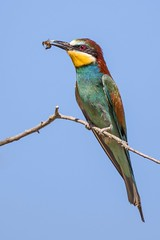 The Bee-eater and the Bee (Phil Gower Bird Photography) Tags: beeeater bee bird