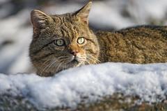 Wildcat looking over the snow (Tambako the Jaguar) Tags: wildcat wild cat feline male portrait looking snow winter cold sunny eyes tierparklangenberg wildpark zürich switzerland nikon d5 explore