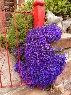 Campanula flowering on a red gate.