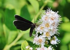 Schwarzspanner (Odezia atrata) (Hugo von Schreck) Tags: schwarzspanner odeziaatrata hugovonschreck macro makro insect insekt butterfly chimneysweeper moth canoneos5dsr fantasticnature