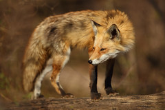 Red Fox Looking Sly (Bryan Carnathan) Tags: fox redfox red predator animal mammal baby babies outdoor outdoors photography photographer nature itsinmynature wildlife de delaware spring canon myrrs reallyrightstuff rrs sly ngc