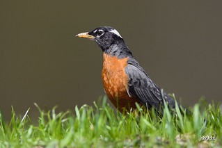 White-naped Robin