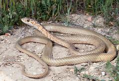 San Joaquin Coachwhip (Masticophis flagellum ruddocki) (David A Jahn) Tags: san joaquin coachwhip coluber masticophis flagellum ruddocki snake whipsnake california centralvalley