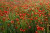 Poppy Meadow (Slav.Burn) Tags: poppy poppies meadow spring june blossom morning sunshine red green pentaxart sikorz sępólno
