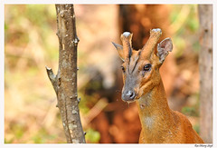 Barking Deer (Rao Dheeraj Singh) Tags: barkingdeer deer wildlife wildlifephotography corbettnationalpark bigshotadventures