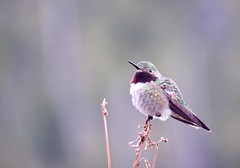 Hummingbird don't fly away... (prairiegirrl) Tags: hummingbird bird redfeather norcolorado noco rockymountains redfeatherlakes