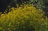 2018_05_0757 (petermit2) Tags: oilseedrape oilseed rape rapeseed riverdon sprotbrough doncaster southyorkshire yorkshire