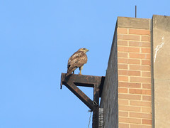 Yearling Interloper - 0388 (rbs10025) Tags: redtailedhawk buteojamaicensis bird manhattan nyc morningsideheights internationalhouse
