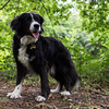 Up at the Outwoods (Captain192) Tags: dog dogs collie spaniel spanielcolliecross bordercollie sprollie outwoods theoutwoods woods paths trees leaves