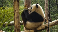 Good Panda (YᗩSᗰIᘉᗴ HᗴᘉS +17 000 000 thx) Tags: panda flickr goodpanda badpanda belgium europa aaa namuroise look photo friends be wow yasminehens interest intersting eu fr greatphotographers lanamuroise tellmeastory flickering pairidaiza hss sliderssunday