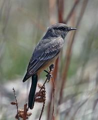 Say's Phoebe (Sayornis saya) (Ron Wolf) Tags: rockymountainarsenalnwr saysphoebe sayornissaya tyrannidae bird flycatcher nature plains wildlife colorado