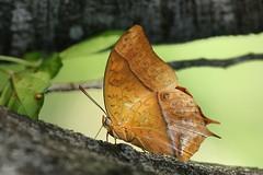 Charaxes varanes (Dindingwe) Tags: charaxesvaranes papillon pacha butterfly emperor pearlemperor schmetterling mariposa borboleta kruger