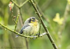 i know i just got up ok. (ian._harris) Tags: cambridgeshire june naturephotography natural nature naturaleza nikon d7200 sigma 500mmf45 fowlmere baby bluetit