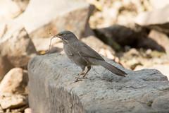 Jungle Babbler at Delhi S24A7889 (grebberg) Tags: qutubcomplex delhi india march 2018 junglebabbler turdoidesstriata turdoides babbler bird