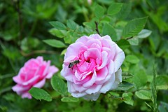 spring in my garden (JoannaRB2009) Tags: spring garden nature mygarden rose pink bee green plants flowers