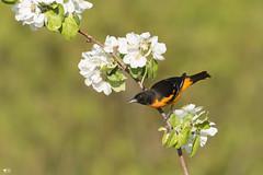 ''Pomme de désir!'' Oriole de baltimore-Baltiore Oriole (pascaleforest) Tags: oiseau bird animal passion nikon nature wild widllfie faune québec canada fleur flower printemps spring