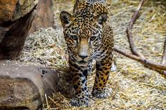 Jaguar (Beangrau12) Tags: jaguar bigcat zoo elmwoodzoo pennsylvania nikon3200 tamron16300mm