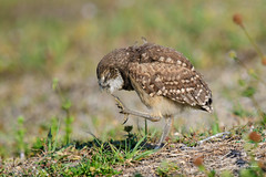 When you got an itch.... (craig goettsch - out shooting) Tags: sanibel2018 burrowingowls capecoral bird avian nature wildlife florida nikon d500 ngc
