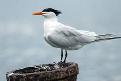 IMG_2989 Royal Tern (suebmtl) Tags: bird birding wader shorebird royaltern thalasseusmaximus bocasdeltoro banded