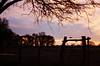 Crepusculo (regojoagustina) Tags: campo diadecampo la pampa chancho pig cow vaca crepúsculo atardecer girl littlegirl field pentax k1000 pentaxk1000 film filmisnotdead 35mm pelicula vintage