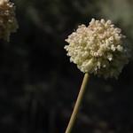 Inyo buckwheat, Eriogonum latens thumbnail