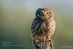 sunrise smile (KevinBJensen) Tags: eule civetta small owl little screech nature bird animal nocturnal eyes look watch coquette koket gufetto gufo strigidae notturne athene noctua davson phil wildlife catcher avian ornithology predatory smallowl littleowl screechowl athenenoctua phildavson phildavsonwildlife
