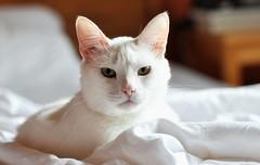 my snowflake (SpitMcGee) Tags: sam spanier cat kater pet ängstlich scared imbett inbed schneeflocke snowflake spitmcgee