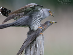 Common Cuckoo (Cuculus canorus) (www.mikebarthphotography.com 2M Views thanks !) Tags: cuculuscanorus commoncuckoo