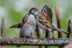 Shut up and eat (Paul Wrights Reserved) Tags: sparrow fledgeling young babies baby younganimal animal bird birding birdphotography birds birdwatching feeding