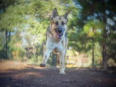 P1012561 (Sebastopol Dog Park) Tags: dog dof run action spiralbokeh cmount 25mmf14 mft olympus openaperture forest arlendean vignette oldlens