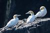 Gannet Morus bassanus Trio (Barbara Evans 7) Tags: gannets trio les etacs ortac english channel uk barbara evans7 morus bassanus