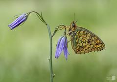 Mariposa en flor (JoseQ.) Tags: macro macrofotografia mariposa flor bicho insecto animal colores planta verde primaveraolympus airelibre