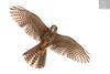 Kārearea 176 (Black Stallion Photography) Tags: adult male newzealand falcon kārearea bird wildlife nzbirds prey closeup brown black stallion photography igallopfree
