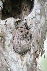 _O9A9283.jpg (MyKeyC) Tags: screech easternscreechowl otusasio nest female tree perched hole loxahatchee nesthole femaie owl