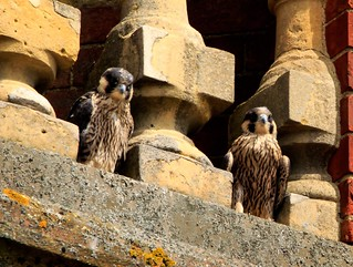 Two young peregrines