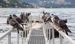 Pigeons (nick.park15) Tags: pigeons bird wildlife lake coo como nick park photography