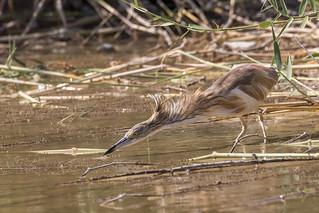 Squacco heron (Ardea ralloides) Ralreiger