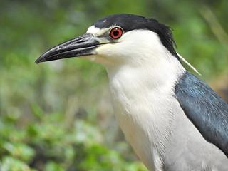 FSCN7544 Black-crowned Night Heron