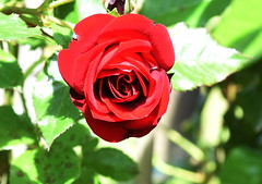 DSC_0232 (PeaTJay) Tags: nikond750 reading lowerearley berkshire macro micro closeups gardens outdoors nature flora fauna plants flowers rose roses rosebuds