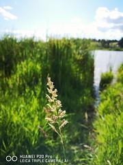 Wheatgrass. (thnewblack) Tags: huawei p20 p20pro leica leicaoptics android smartphone closeup wheat grass britishcolumbia f18 40mp hdr bokeh