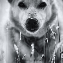On the Nose (jayneboo) Tags: nose focus point ed mongrel dog friend bw mono grasses bokeh sum 75mm cl