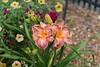Daylily-Cranberry Breeze_0622e (Porch Dog) Tags: 2018 garywhittington kentucky nikond750 nikkor200500mm blooms blossoms flower backyard home summer june bloom blossom daylily