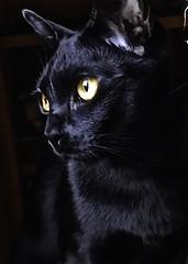MOON.... (jackie bernelas) Tags: moon cat chat bombay regard chatnoir yeux