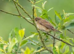 Reed Warbler (ian._harris) Tags: d7200 nikon naturaleza nature sigma 500mmf45 natural naturephotography june rspb