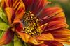 P6163225 (Dirk Buse) Tags: münster deutschland nrw nordrheinwestfalen germany sonnenblume farbe color colour natur nature outdoor flora pflanze macro makro nahaufnahme mft mu43 m43