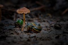 Snail And Mushroom - 053018-104753 (Glenn Anderson.) Tags: snail mollusc shelledgastropod macro closeup nikon outdoor forestfloor nature wood bokeh natural waynesboroughpark fungus spores forest woodrot cap fungi