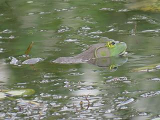 A Very Very BIG Bullfrog.   IMG_8635